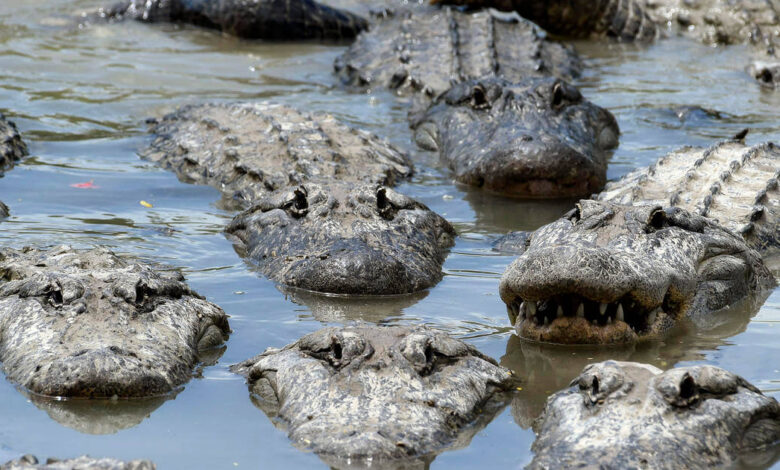 A Florida man killed the alligator with his knife and later tried to sell its meat
